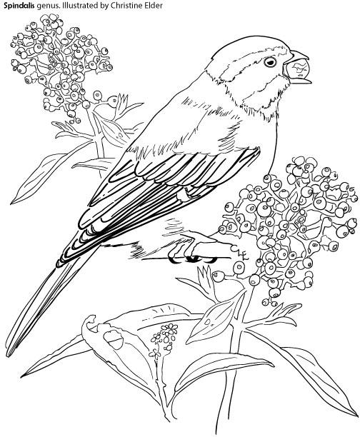 504x612 Caribbean Birds Coloring Book