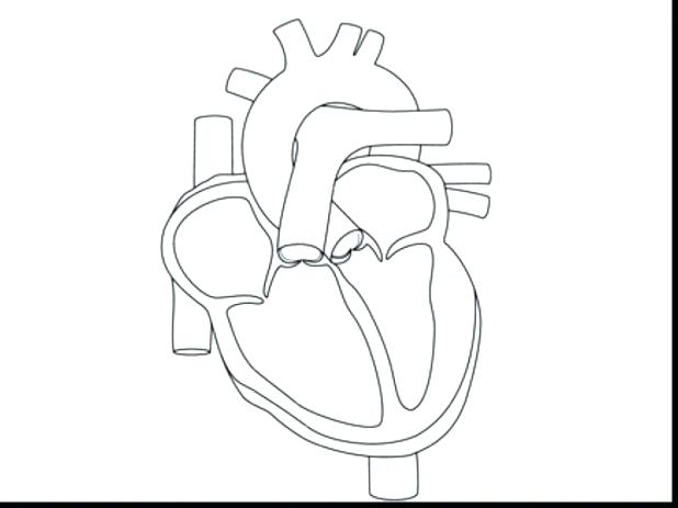 618x463 Human Heart Coloring Pages Coloring Page Of A Heart Human Heart