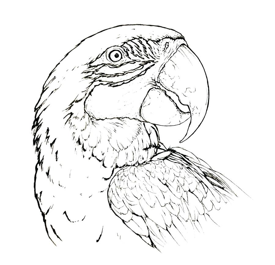 900x868 Parrot Coloring Page Pirate Parrot Coloring Pages Flying Parrot