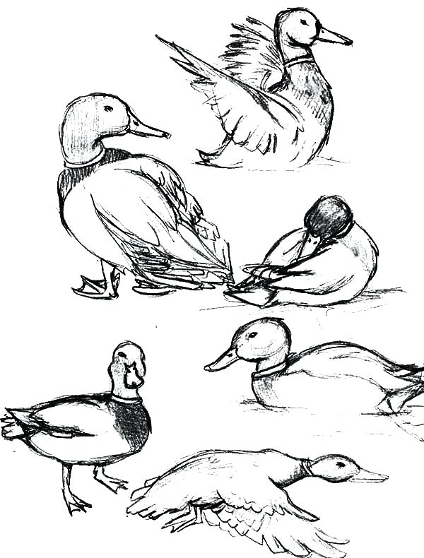 600x790 Duck Coloring Pages Duck Color Page Baby Duck Coloring Pages Duck