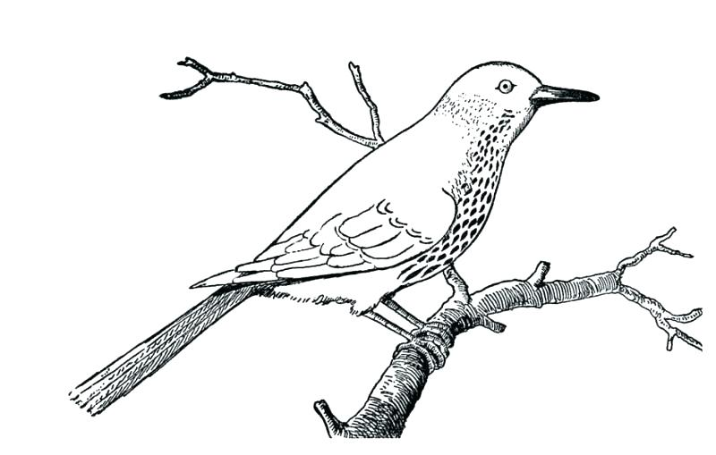 800x509 Robin Bird Coloring Pages Baby Bird Coloring Page Robin Bird