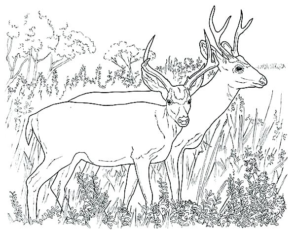 600x467 Deer Coloring Pages Deer Antler Coloring Pages Page Couple