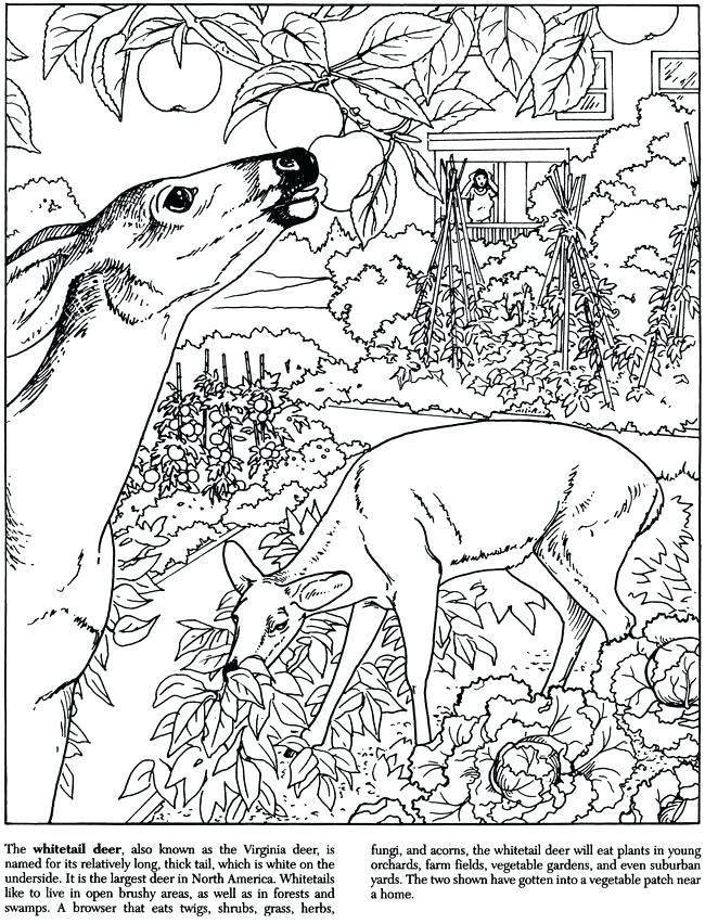 650x852 Deer Printable Coloring Pages Whitetail Deer Coloring Pages Deer