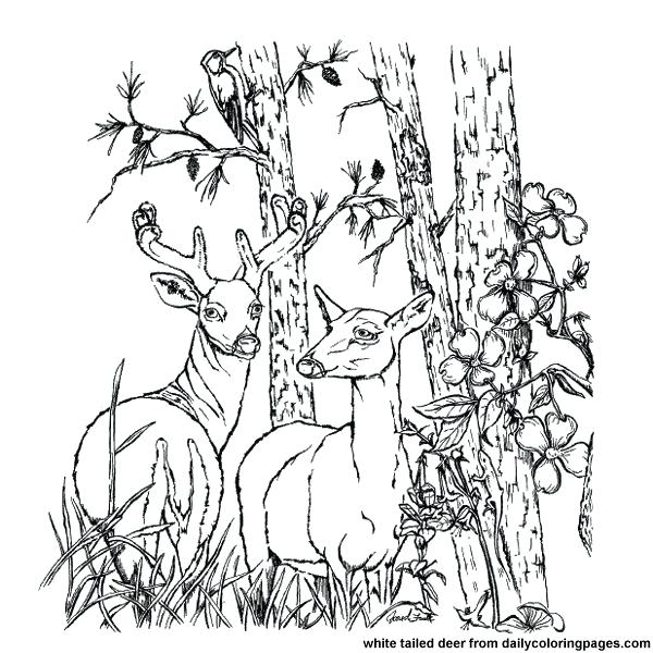 600x600 Whitetail Deer Coloring Pages