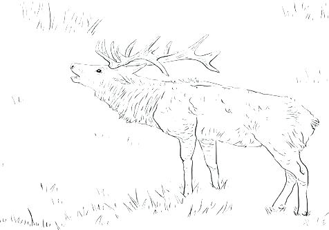 476x333 Whitetail Deer Coloring Pages Deer Coloring Deer Coloring Pages