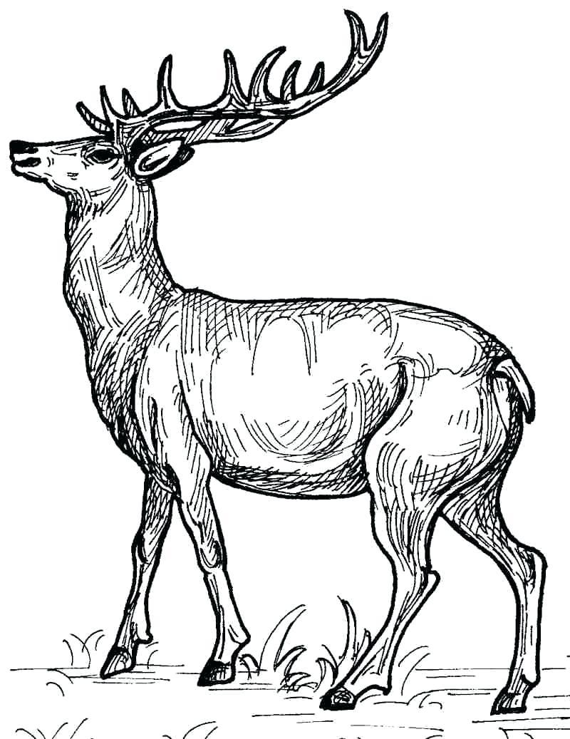 800x1037 Deer Coloring Page Pages Printable Of Deers