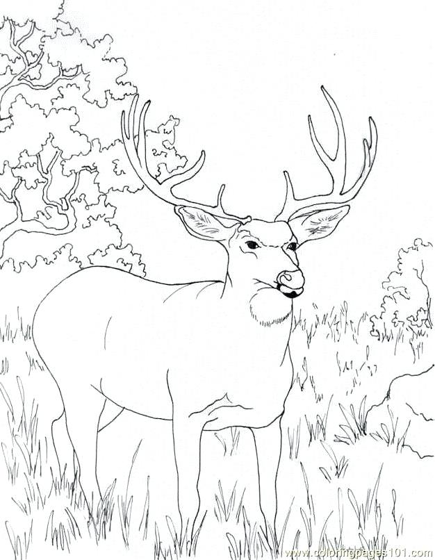 626x806 Deer Coloring Page Deer Hunting Coloring Pages Mule Deer Coloring