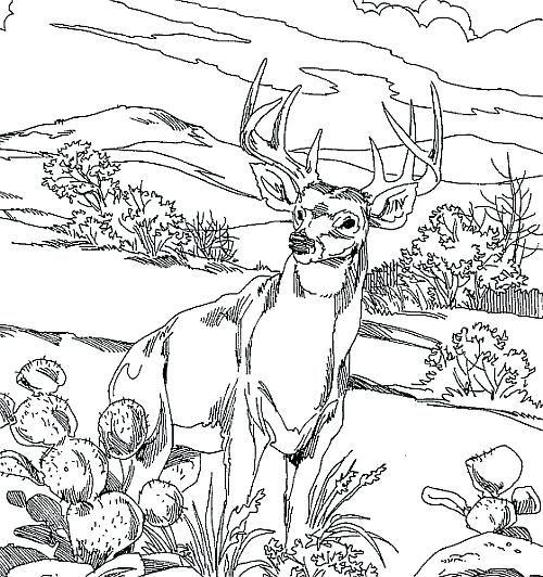 500x532 Hunting Coloring Pages Whitetail Deer Coloring Pages Info