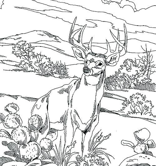 500x532 Whitetail Deer Coloring Pages Deer Coloring Page Deer Hunting
