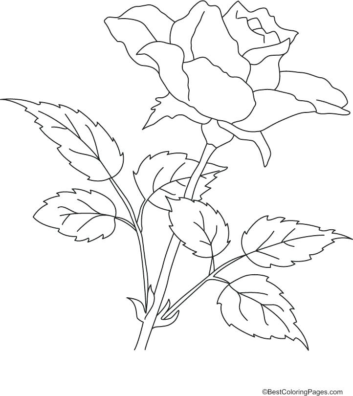 722x810 Printable Rose Coloring Pages Derrick Rose Coloring Pages Rose