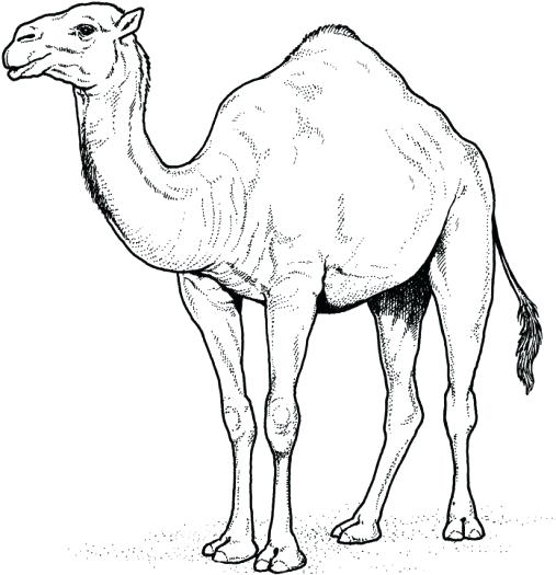 507x525 Desert Animals Coloring Pages Desert Animals Coloring Pages Free