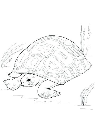 360x480 Tortoise Coloring Page Tortoise Coloring Page Click To See