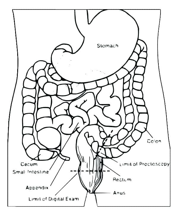 Digestive System Coloring Page At Getdrawings Com Free For
