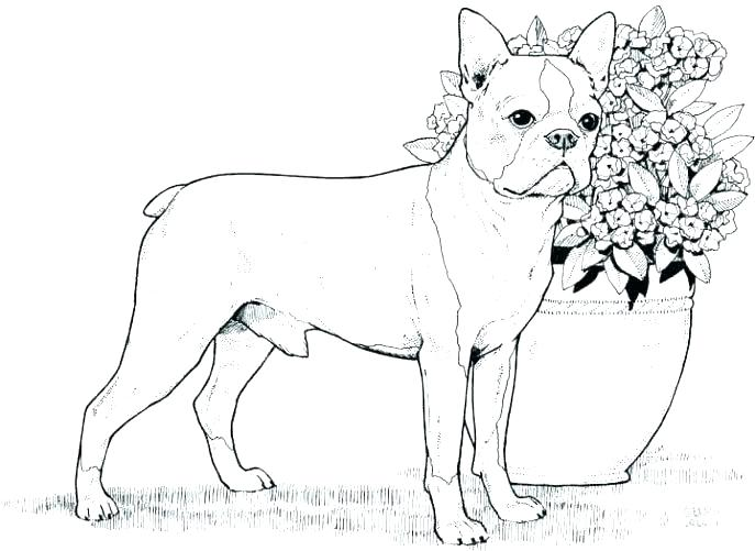 687x501 Boxer Puppy Coloring Pages Boxer Dog Coloring Page Free Boxer Dog