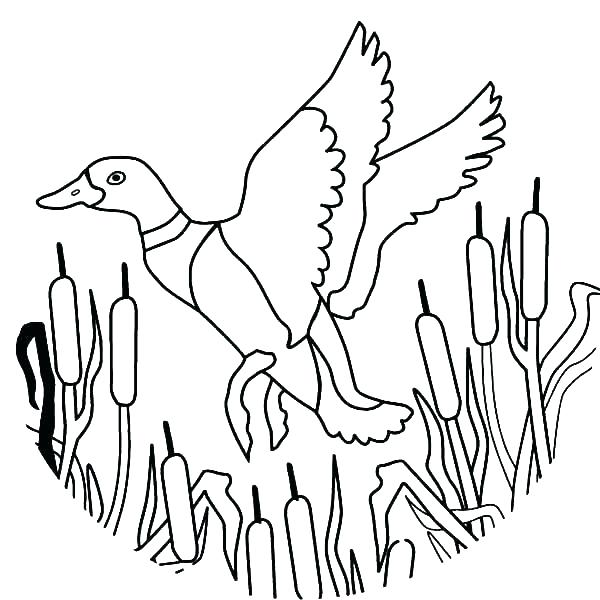 600x600 Coloring Pages Duck Picture Of A Duck To Color Duck Color Page