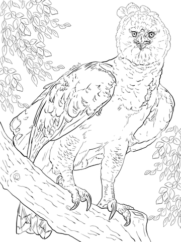 360x480 Harpy Eagle Clipart Coloring Page