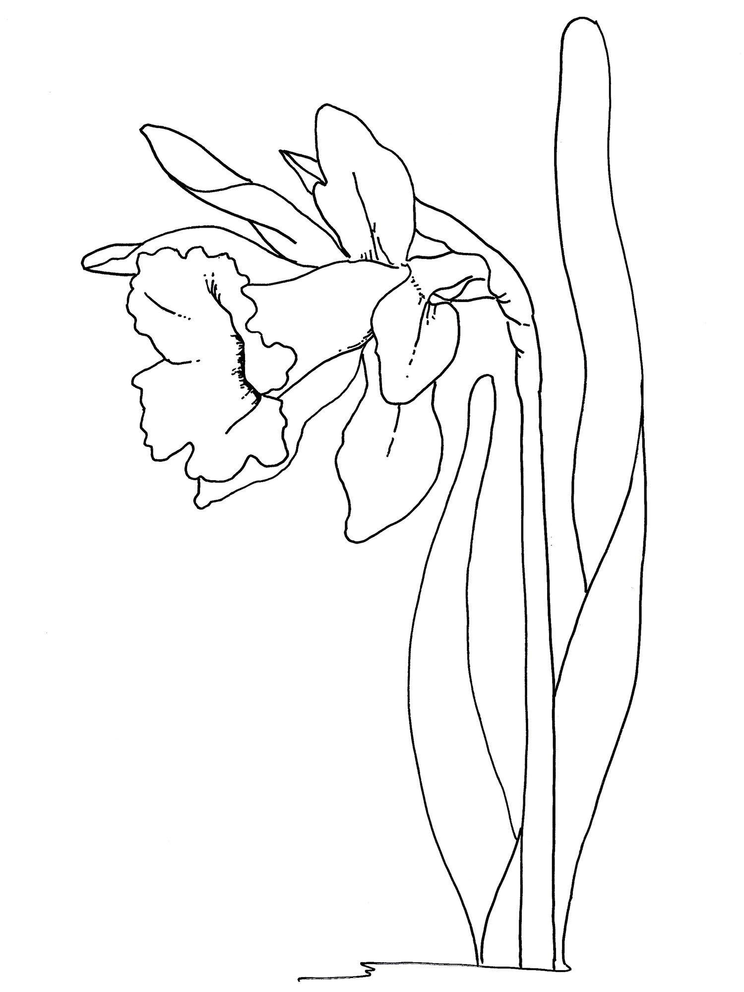 1500x2000 Easter Flowers Coloring Pages Daffodil