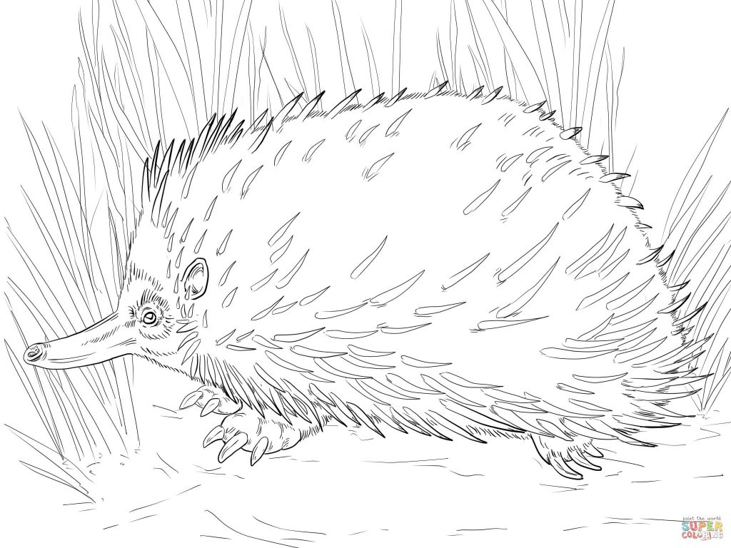 1024x768 Short Beaked Echidna For Free Coloring Page