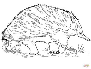 300x228 Walking Echidna For Free Coloring Page