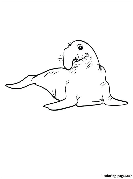 560x750 Seal Colouring Or Coloring Page Elephant Seal Coloring Pages Baby