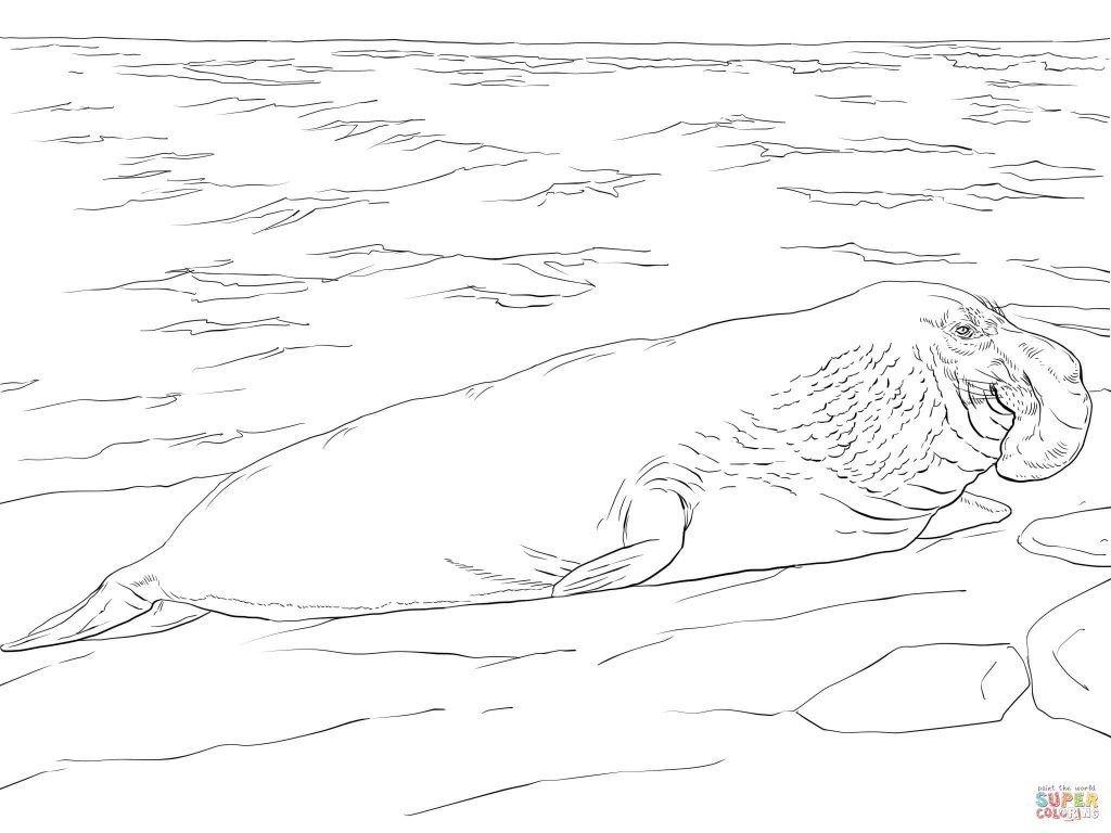 1024x768 Elephant Seal On The Shore Coloring Page Free Download