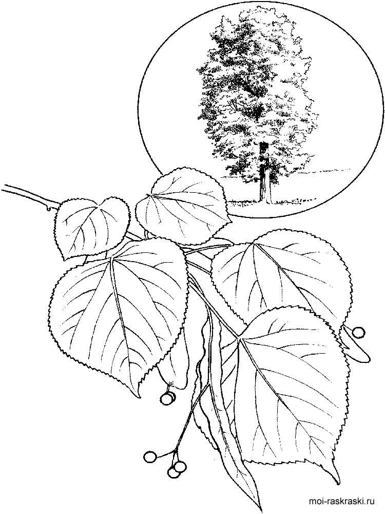 750x1000 Linden Tree Coloring Pages For Kids Free Printable Linden Tree