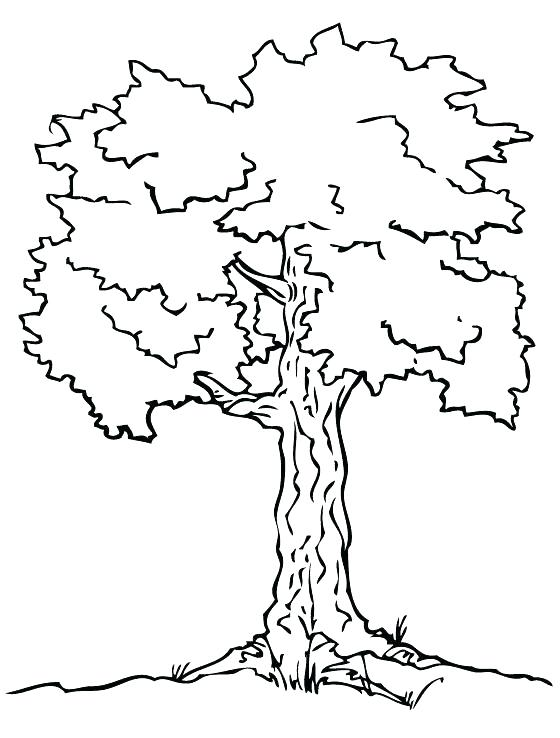 560x738 Oak Tree Coloring Pages Coloring Page Of A Tree White Oak Tree
