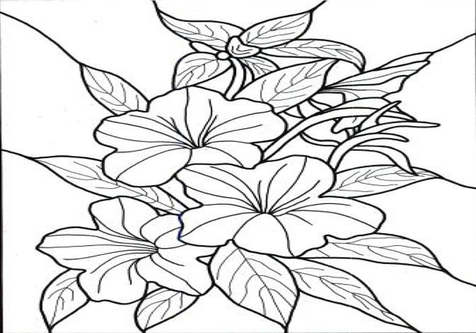 476x333 Hawaiian Hibiscus Flower Coloring Pages Page Image Clipart Images