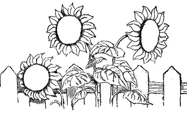 600x364 Sun Flower Over The Fence Spring Flower Coloring Page Color Luna