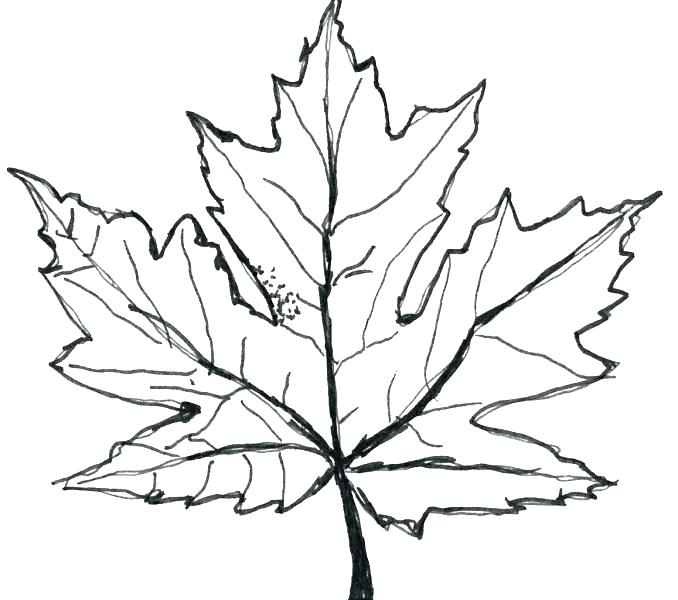678x600 Red Maple Leaf Coloring Page Coloring Pages Online Red Maple Leaf