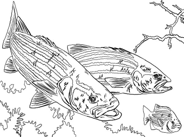 600x449 Bass Fish Chasing Little Fish Coloring Pages Best Place To Color