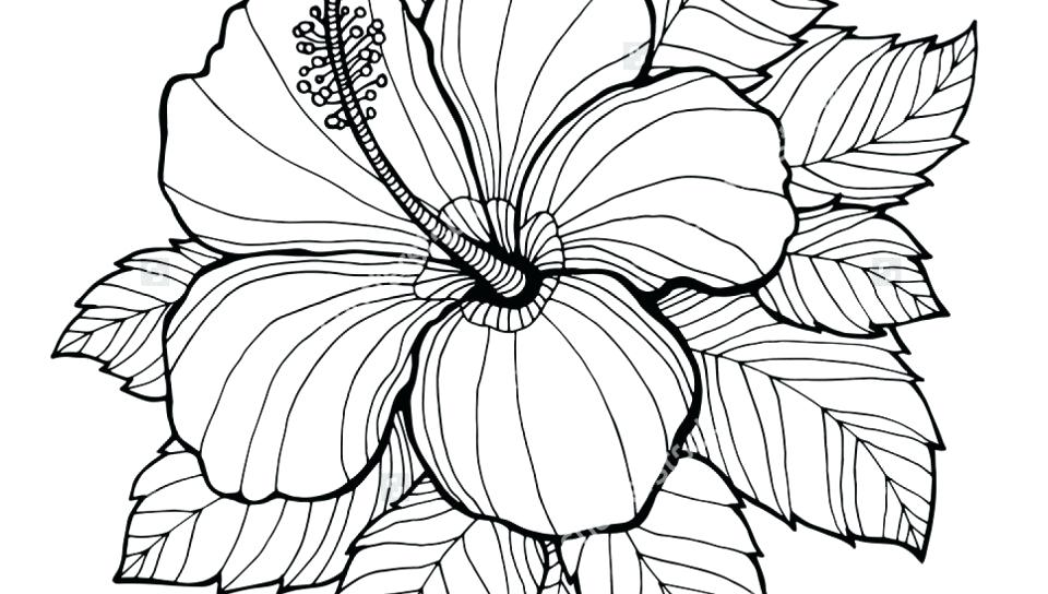 960x544 Hibiscus Coloring Pages Adults Flower Page For Kids Flowers Sheets