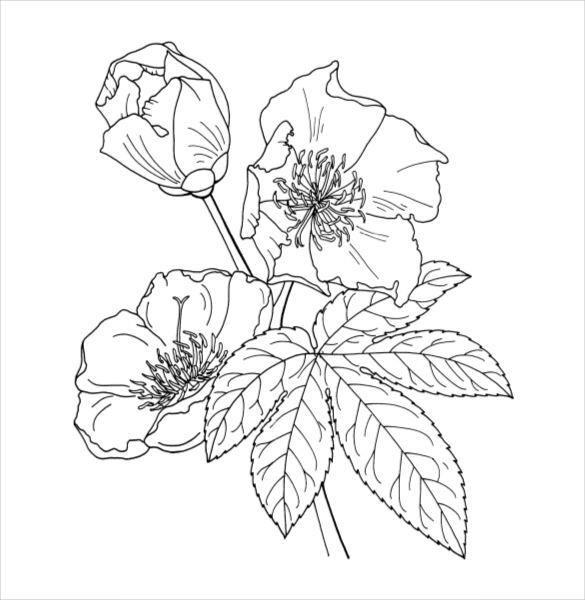 585x600 Flower Coloring Pages Free Vector Format