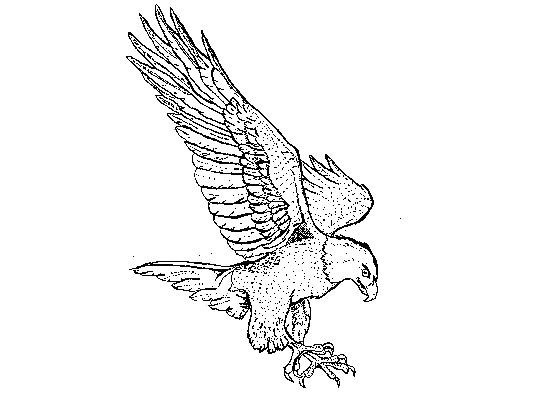 546x402 Flying Eagle Coloring Page Drawing Board Weekly
