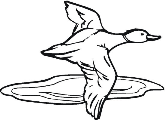550x399 Duck Flying Over Water Coloring Page