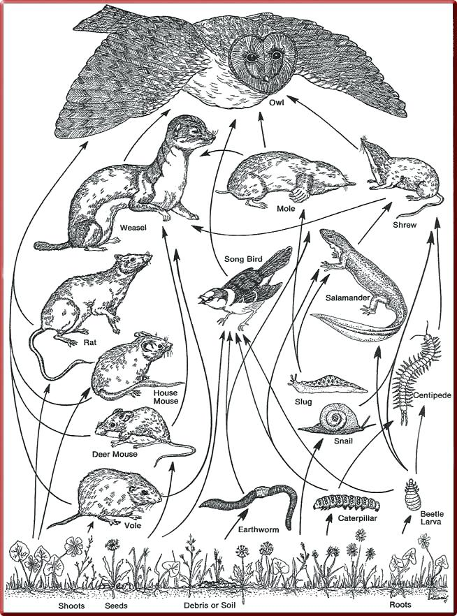 654x882 Best Of Food Chain Coloring Pages And Food Chain Colouring