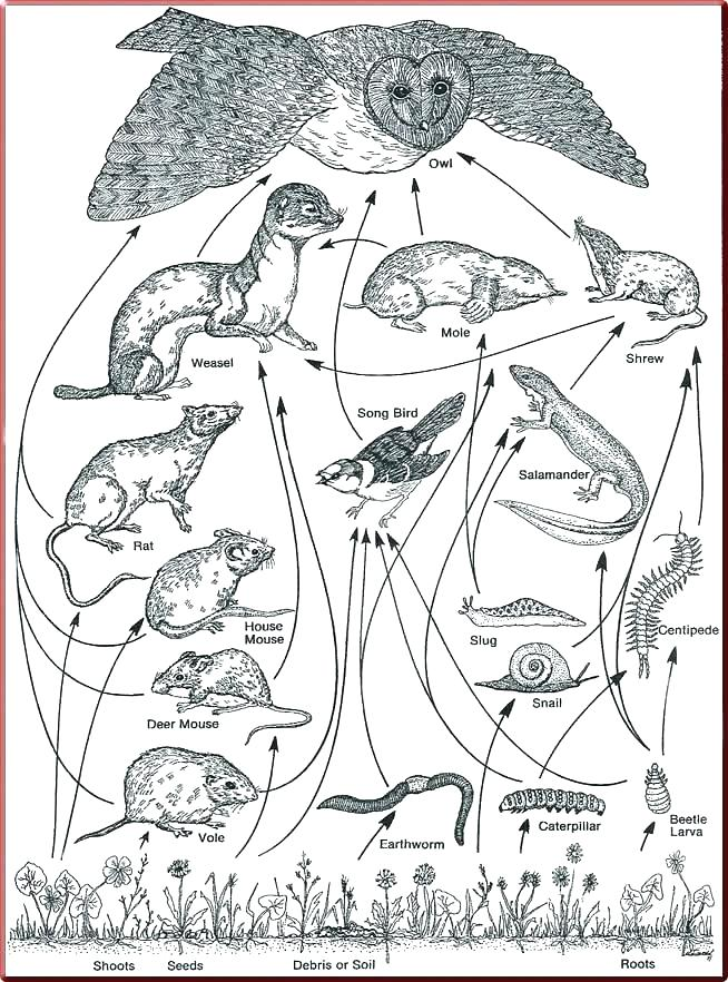 654x882 Food Chain Coloring Pages Food Chain Coloring Page Food Web