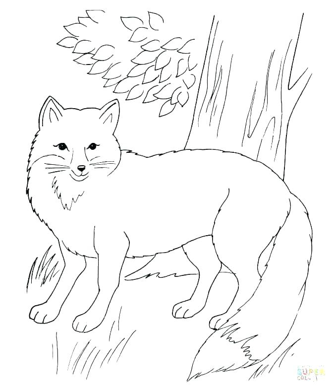 678x790 Realistic Fox Coloring Pages Fun Time