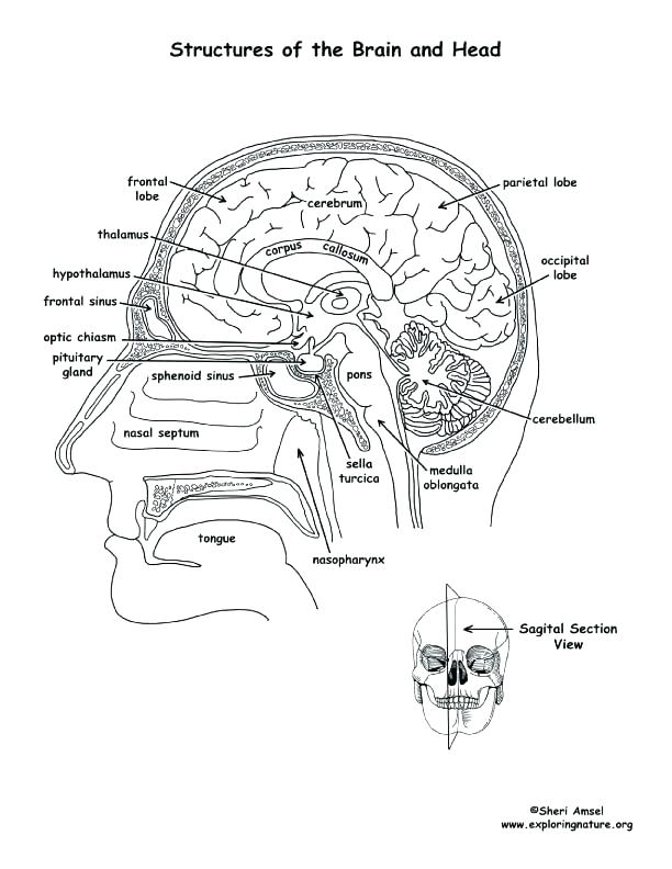 612x792 Brain Coloring Page Anatomy Coloring Pages Brain Anatomy Coloring