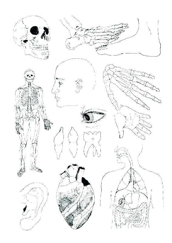 567x800 Anatomy Muscle Coloring Pages