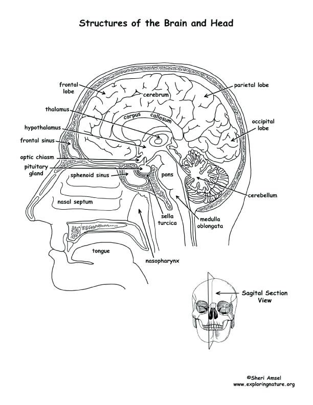 612x792 Anatomy Coloring Book Free Beautiful Brain Coloring Page And Brain