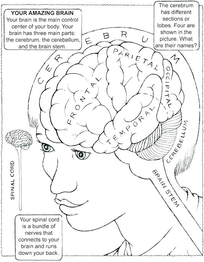 650x837 Anatomy Coloring Book Human Brain Coloring Book Human Brain