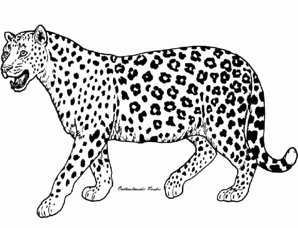 980x750 Cheetah Coloring Pages To Print