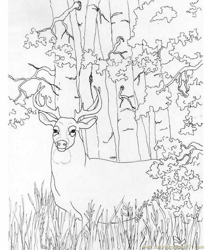 698x852 Whitetail Deer Coloring Page