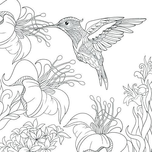 free hummingbird coloring pages at getdrawings free
