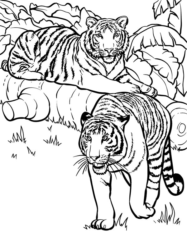 600x763 Two Tigers Ready For Hunting Coloring Page