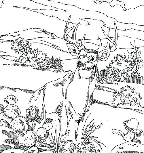 500x532 Deer Hunting Coloring Pages Whitetail Deer Coloring Pages Design