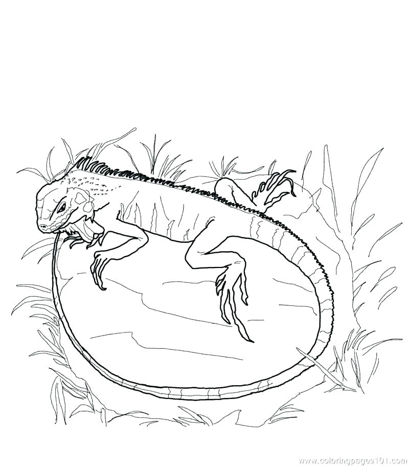 800x911 Lizard Coloring Page Coloring Pages Gecko Lizards Reptile Lizard