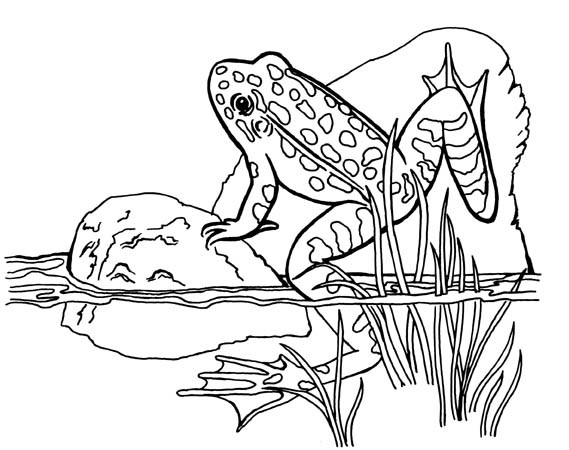 569x450 Animal Coloring Pages For Kids Frogs, Free Printable And Free