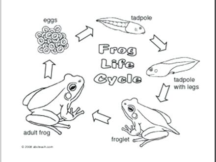 Frog Life Cycle Coloring Pages At Getdrawings Com Free For